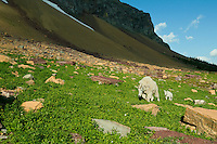 Mountain Goat (Oreamnos americanus) nanny with young kid.  Glacier National Park, Montana.  Summer.