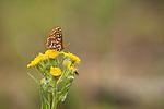 Variable Checkerspot (Euphydryas chalcedona) butterfly, Grand Canyon of the Tuolumne, Yosemite National Park, Sierra Nevada, California