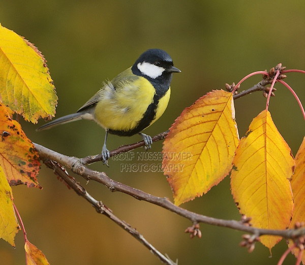 Great Tit (Parus major), adult perched on autumn branch of Cherry tree (Prunus sp.), Oberaegeri, Switzerland, Europe