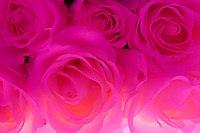 Romantic pink roses clustered in a group