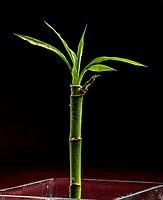 Dracaena braunii es una especie del género Dracaena. También se conoce como Dracaena sanderiana. Los nombres comunes incluyen dracaena de Sander, cinta de dracaena, bambú de la suerte, bambú rizado, agua de bambú china, amistad de bambú, planta de la diosa de la misericordia, árbol de hoja perenne belga, y planta de la cinta. / Dracaena braunii is a species of the genus Dracaena. It is also known as Dracaena sanderiana. Common names include Sander's dracaena, ribbon dracaena, lucky bamboo, curly bamboo, Chinese water bamboo, friendship bamboo, Goddess of Mercy plant, Belgian evergreen, and ribbon plant. Photo: VizzorImage/ Gabriel Aponte / Staff