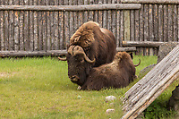 Two Muskox (also spelled musk ox and musk-ox) is seen at the Zoo Sauvage in St. Felicien, Quebec Friday August 25, 2017.