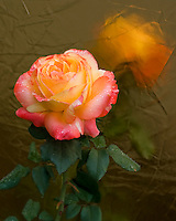 Aprocot rose with morning dew drops and golden reflection