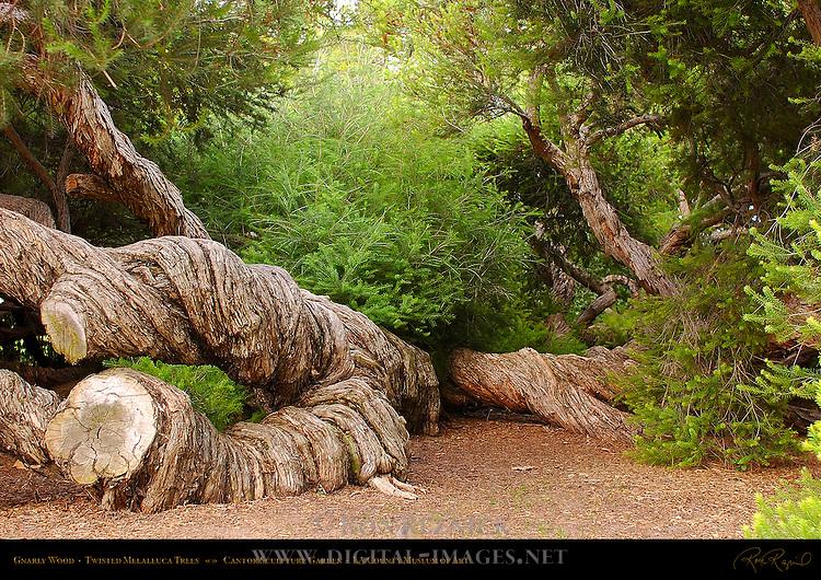 Gnarly Wood, Twisted Melaleuca Trees, LA County Museum of Art, Hancock Park, Los Angeles, California