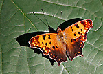 Polygonia Question Mark full-wing spread sitting on a pollen-spotted green leaf in the Roosevelt Park in Arlington, Virginia. The sun glissens on the butterfly and creates a very significant shadow.