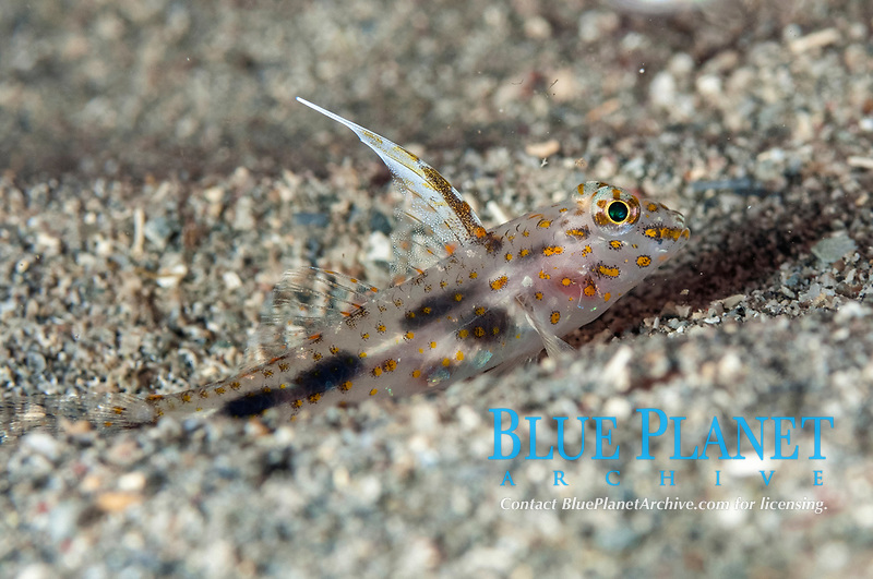 Blotched Goby, Coryphopterus inframaculatus, with erect fin, Circus dive site, Manado, Sulawesi, Indonesia, Pacific Ocean