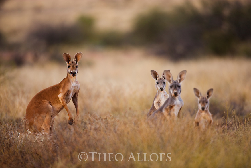 Australia,  NSW, Sturt National Park; red kangaroo male with female and joeys (Macropus rufus); the red kangaroo population increased dramatically after the recent rains in the previous 3 years following 8 years of drought