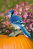 Blue Jay (Cyanocitta cristata) in backyard garden resting on autumn pumpkin.  Nova Scotia. Canada.