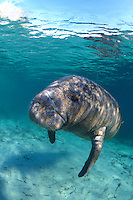 Manatee, Crystal River, Florida