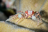 Mosaic Boxer crab, Lybia tesselata, Lembeh Strait, North Sulawesi, Indonesia, Pacific
