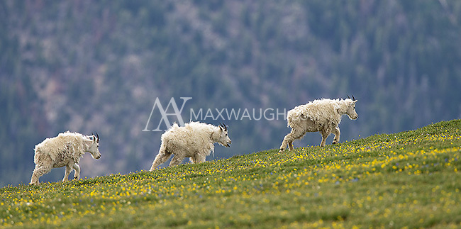 Mountain goats photographed on the Beartooth Pass outside of Yellowstone.