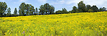 Field of goldenrod, Solidago sp, panoramic image