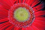 Flores. Gerbera ( Gerbera x jamesonii hybrida). SP. Foto de Manuel Lourenço.