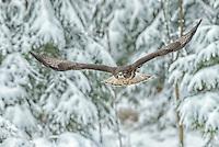 Common buzzard in a winter forest.