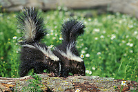 Two young striped skunks (Mephitis mephitis) check a rotting log for grubs and insects to eat.  Summer.