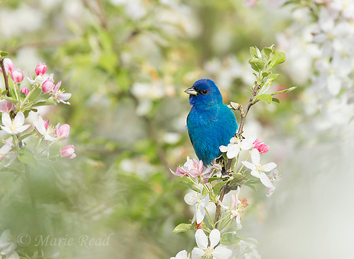 Indigo Bunting (Passerina cyanea) male in breeding plumage, perched amid crabapple blossom in spring, Ithaca, New York. (Marie Read)