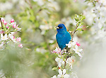Indigo Bunting (Passerina cyanea) male in breeding plumage, perched amid crabapple blossom in spring, Ithaca, New York.