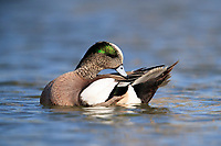 American Wigeon (Anas americana), male in breeding plumage preening in a pond in Papago Park in Phoenix, Arizona.