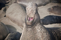 Adult male Northern Elephant seal (Mirounga angustirostris), Piedras Blancas, San Simeon, California
