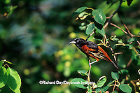01618-006.19 Orchard Oriole (Icterus spurius) male in Shadblow Serviceberry (Amelanchier canadensis) Marion Co. IL