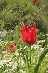 Israel, Tulips (Tulipa agenensis) in the Lower Galilee