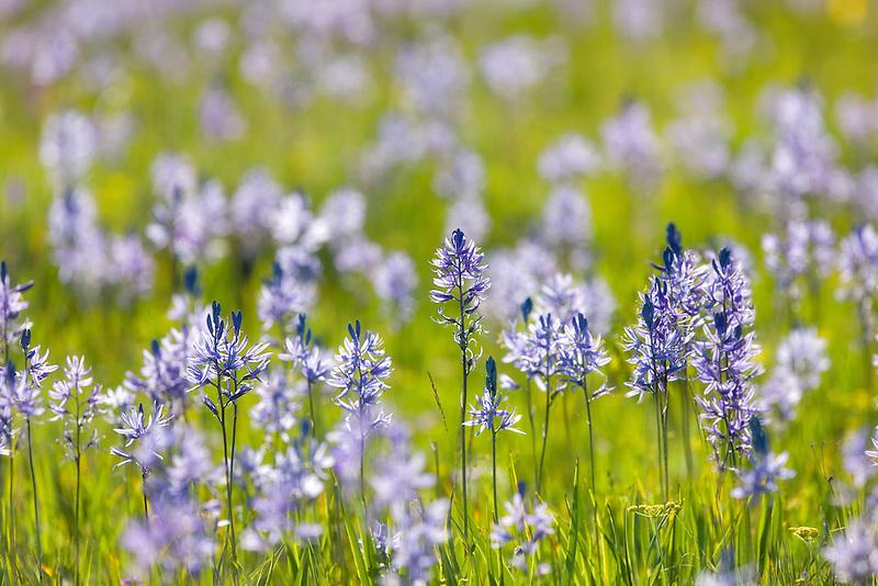 Camas lily. Zumwalt Prairie, Oregon