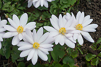 Sanguinaria canadensis - Tennessee form, bloodroot, native American wildflower plant with white flowers