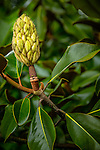 Fruit of the Magnolia Grandiflora at the Arnold Arboretum in the Jamaica Plain neighborhood, Boston, Massachusetts, USA