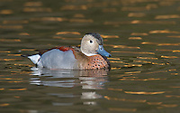 Ringed teal in evening light.