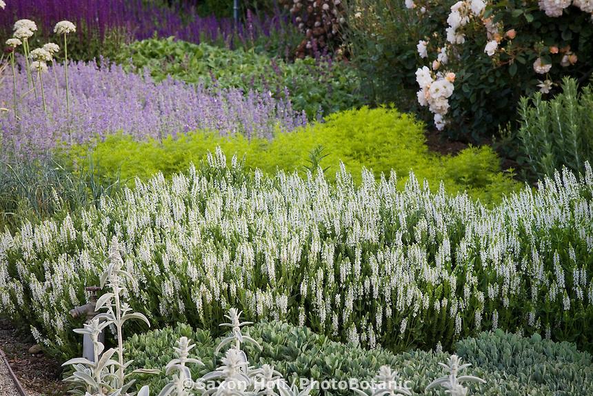Holt2876201tif photobotanic stock photography garden library low flowering perennial border with white sage salvia nemorosa snow hill mightylinksfo Choice Image