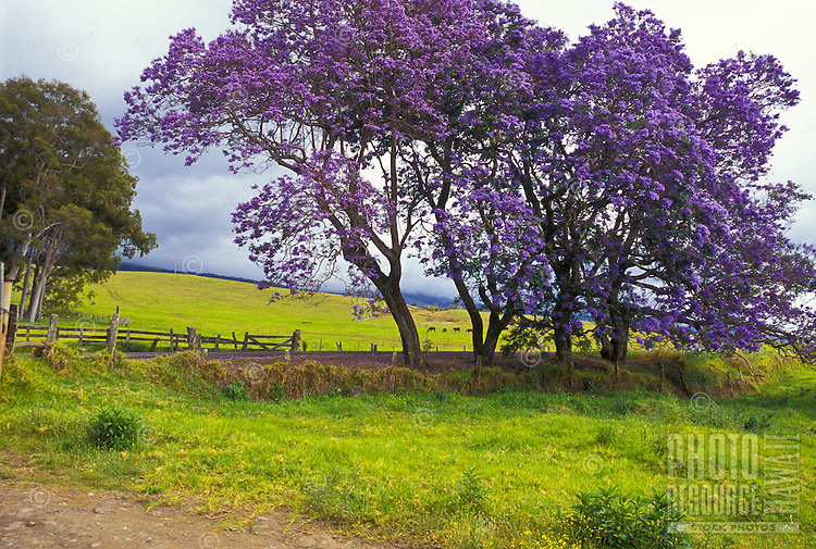 Jacaranda tree, Upcountry Maui