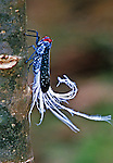 A kin of and about the size of a Cicada, the South American Waxtailed Leaf Hopper is a colorful insect.  A plant eater, It has sucking, beak-like mouthparts.