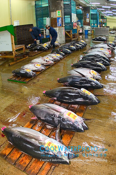 bigeye tunas, Thunnus obesus, getting set for auction, Tsukiji Fish Market or Tokyo Metropolitan Central Whalesale Market, the world's largest fish market  hadling over 2500 tons and over 400 different kind of fresh sea food per day
