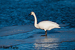 Trumpeter swan on ice. National Elk Refuge, Wyoming.