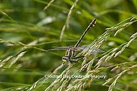 06425-00105 Pronghorn Clubtail Dragonfly (Phanogomphus graslinellus) male, Coles Co., IL