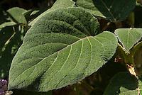 Hydrangea aspera subsp. sargentiana foliage leaf closeup