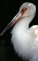 cauanã, cauauá, cauauã, cegonha, jaburu-moleque, joão-grande, maguarim, mauari, tabujajá, tapucaiá e tubaiaiá.<br /> Parque Nacional de Carajás<br /> Foto Paulo Santos<br /> <br /> nome: joão-grande<br /> nome científico: ciconia maguari<br /> ordem: ciconiiformes<br /> família: ciconiidae<br /> outros nomes: maguari, maguarim, tapucaiá, cauanã<br /> descrição: o joão-grande é uma ave ciconiiforme da família dos ciconiídeos, encontrada em grande parte da américa do sul, sendo comum nos estados brasileiros do rio grande do sul e restrita na amazônia e no nordeste do brasil, embora também possa ser encontrada no peru, na colômbia, na argentina e no paraguai. possui uma plumagem branca, rémiges, penas superiores e cauda negras, região perioptálmica e base do bico nuas e vermelhas. é uma ave que sofre de pressão de caça na amazónia. o macho é um pouco mais pesado do que a fêmea. cada asa pode vir a medir 180 cm de diâmetro, em altura mede 120 cm e de comprimento, pode chegar a medir 130 cm. os seus habitats naturais são normalmente pântanos ou padarias húmidas.