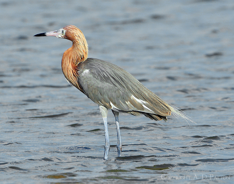 Adult reddish egret intermediate color phase. Notice white face and some white wing feathers as seen with wings folded. Feathers under wings mostly white as seen in other photos. According to Sibley, Gulf of Mexico birds are 93-98% dark phase with remaining birds mostly white phase together with a few intermediates such as this.