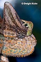 CH49-523z  Veiled Chameleon juvenile climbing on male, Chamaeleo calyptratus