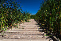 With blue sky overhead, tule grass lines a raised wooden path through the wetland at Coyote Hlls Regional Park in Fremont,  California.