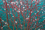 Skagit Valley, Washington, red-twig dogwood