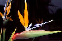 Spanien, Kanarische Inseln, Gomera, Papageienblume (Strelitzie)