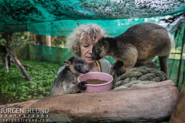 Baby tree kangaroos eat soil before their exercise.  Margit Cianelli wildlife carer and real life Doctor Doolittle takes care of a baby tree kangaroo/s by feeding them, bringing them to her jungle gym for exercise, putting them inside her blouse like a mum tree kangaroo would in her pouch.