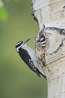 Hairy Woodpecker, Picoides villosus,adult male with young at nesting cavity in aspen tree,Rocky Mountain National Park, Colorado, USA, June 2007