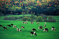 AJ4504, cows, cattle, Vermont, A herd of dairy cows (Holstein) graze on a lush green pasture with colorful fall foliage in the background in Plainfield in Washington County in the state of Vermont.