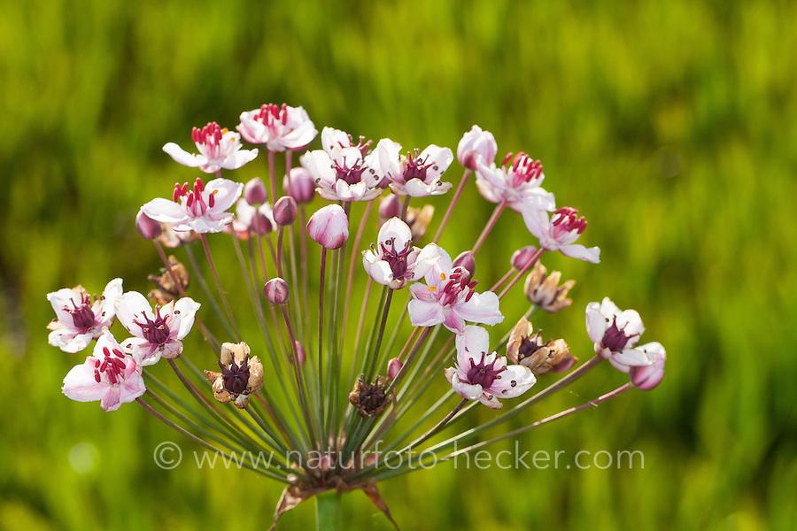 Schwanenblume, Wasserliesch, Blumenbinse, Doldige Schwanenblume, Wasserviole, Butomus umbellatus, flowering rush, grass rush, Blume des Jahres 2014