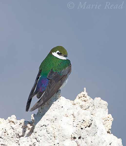 Violet-green Swallow (Tachycineta thalassina), male perched on tufa tower, Mono Lake, California, USA