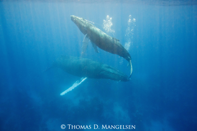 A young Humpback whale calf rises to the surface while its mother stays below in the Atlantic Ocean, Dominican Republic. Young whale calves rise to the surface much more often than their mothers because of their smaller lung capacity.
