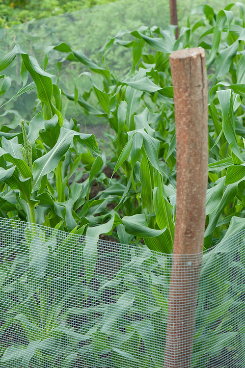 A protective net barrier around sweetcorn, early August.