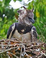 Female harpy eagle